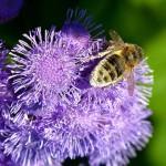 bee_on_pollen