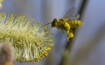 bee-flying-pollen