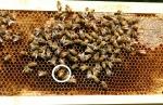 wcba-150709-sterlings bees 00004c_resized_1