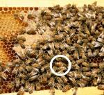 wcba-150709-sterlings bees 00020b_resized_1