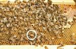 wcba-150709-sterlings bees 00028c_resized_1