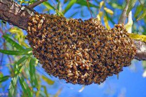 honeybee_swarm